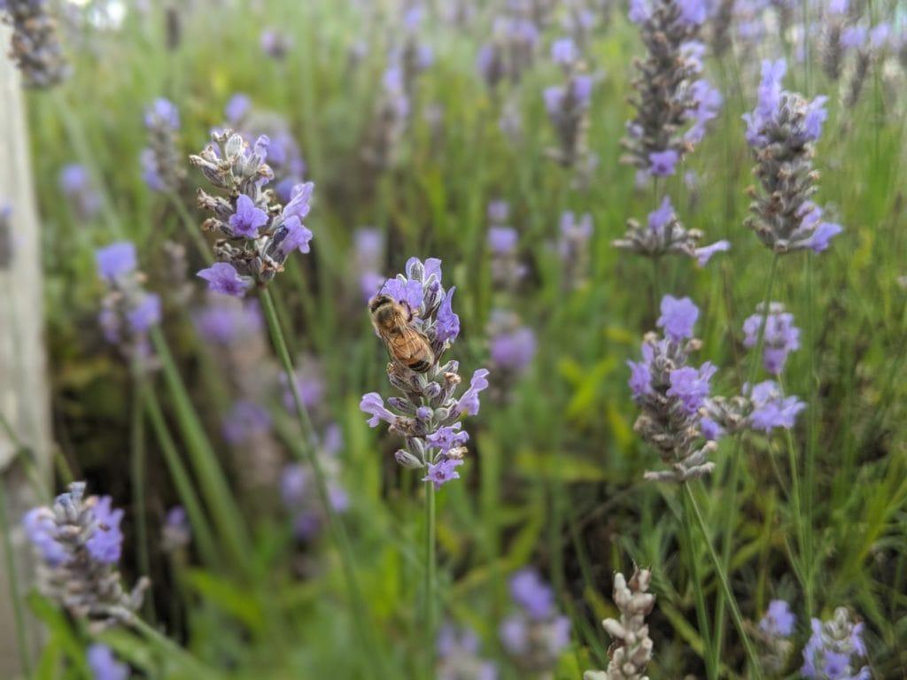 Palindaba lavender farm