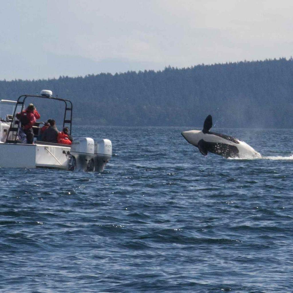 Orcas in the san Juans